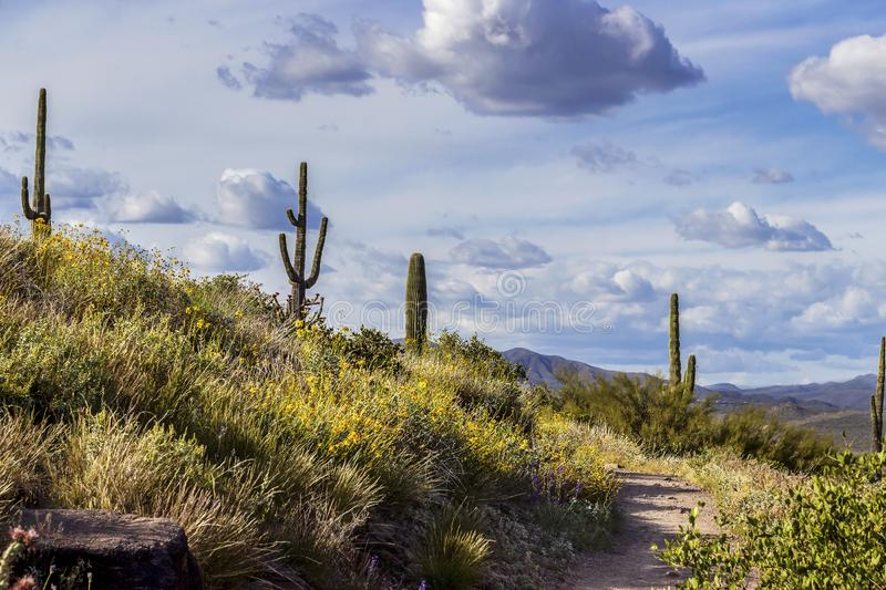 Spring Flowers Along Desert Hiking Trail In Scottsdale, Arizona. With cactus and mountains stock image