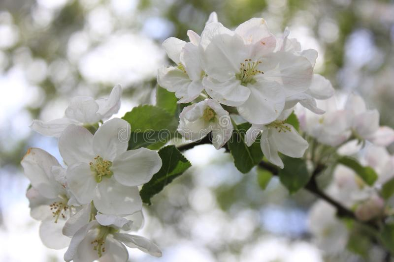 spring flowers of apple royalty free stock photo