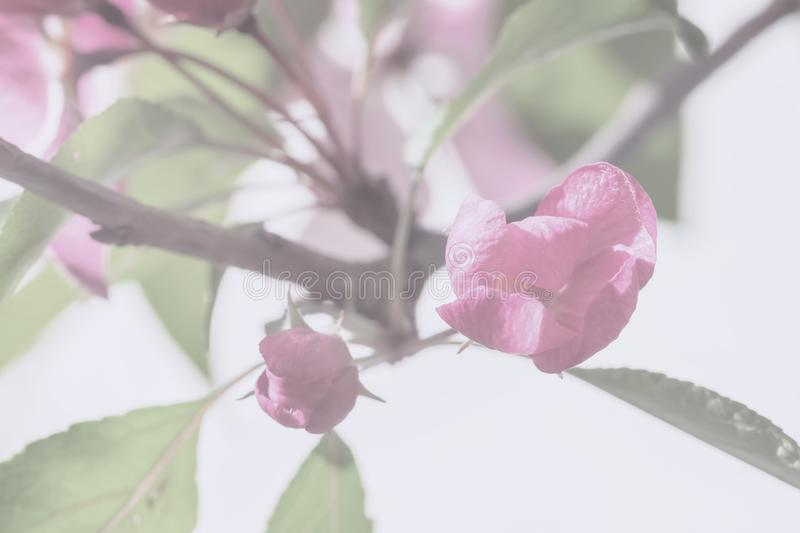 Spring flowers of apple, cherry, vintage color. Branch of sakura, blooming fruit tree. Light soft background royalty free stock photography