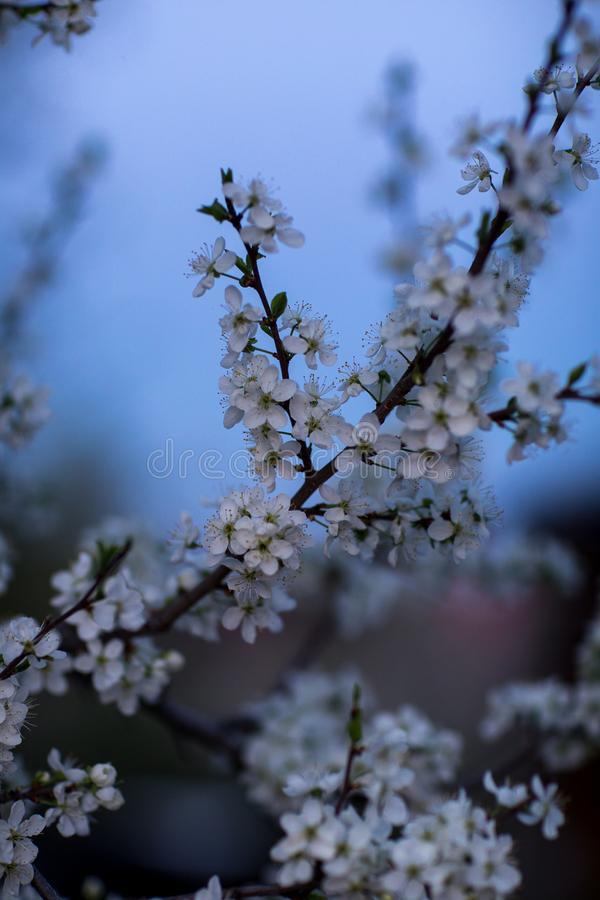 Spring flowers Apple and pear royalty free stock photo