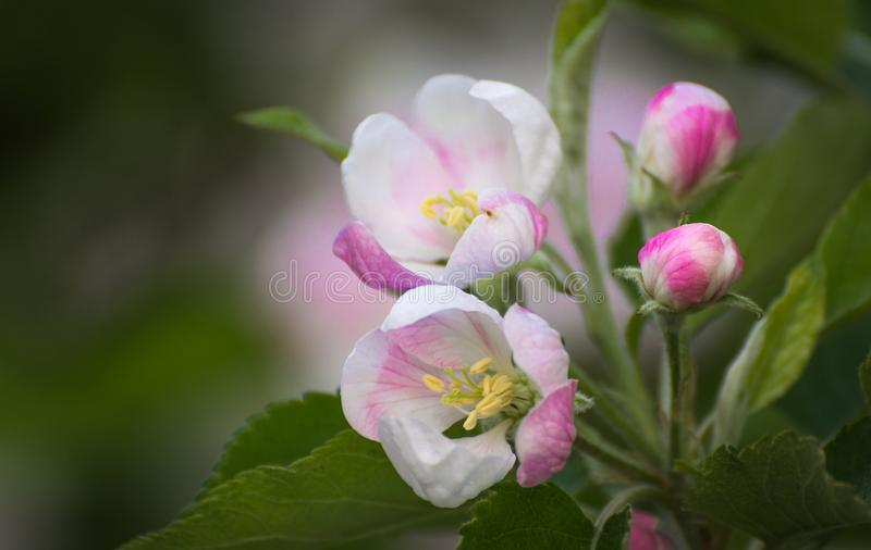 Spring flowers. Apple tree blossom with green leaves royalty free stock image