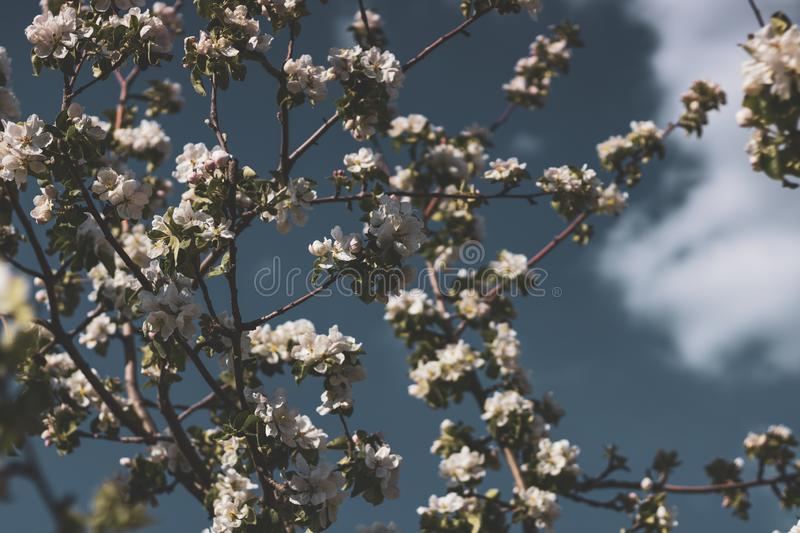 Spring flowers of an apple tree at clear bly sky. Frozen tree flowers after frost stock photo