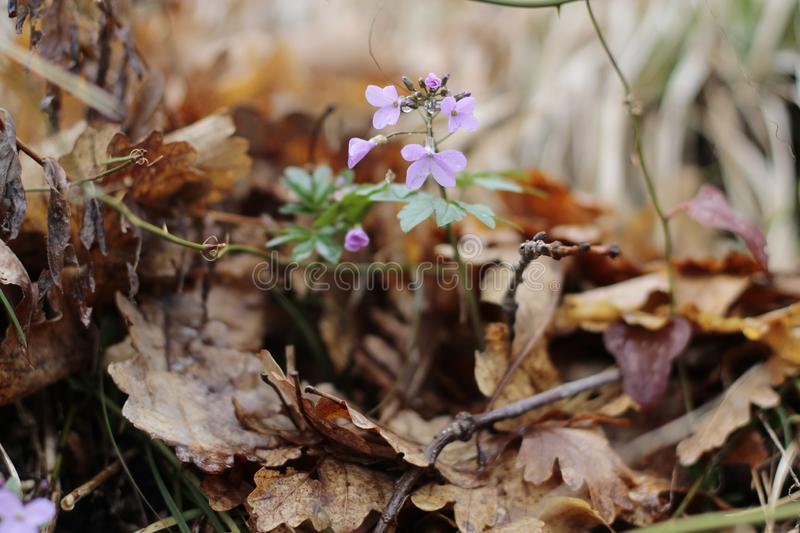 spring flowers on the background of last year`s oak leaves in the forest stock images