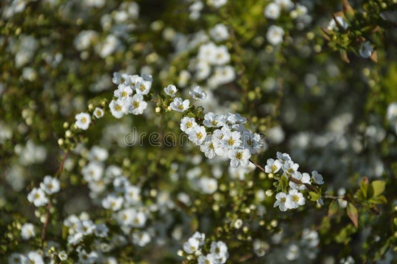 Spring flowers background. Spring  flowers background whitw white tree stock photography