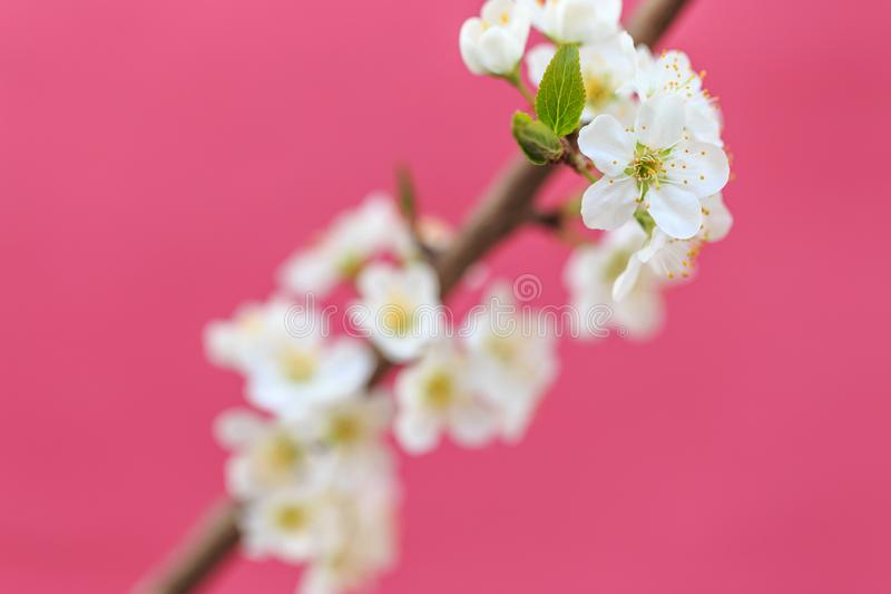 Plum blossoms in spring. In spring, flowers begin to bloom again royalty free stock photos