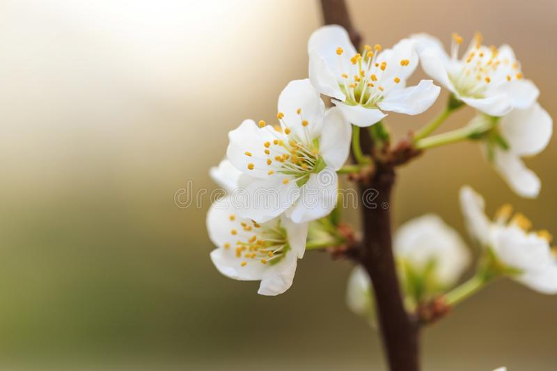 Plum blossoms in spring. In spring, flowers begin to bloom again stock photography