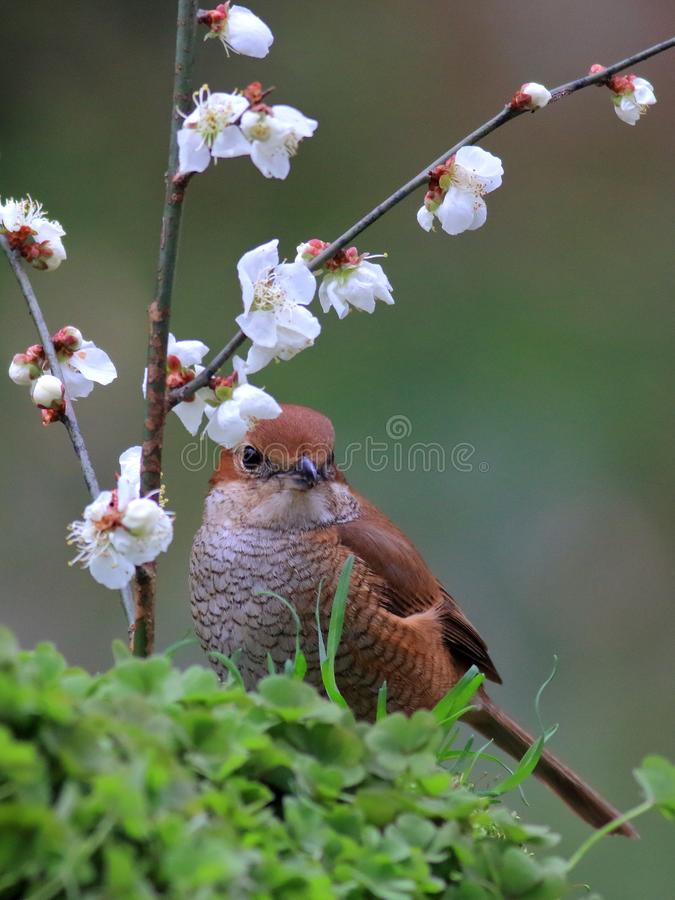 Spring flowers and birds, Bull-headed Shrike and cherry blossoms royalty free stock photography