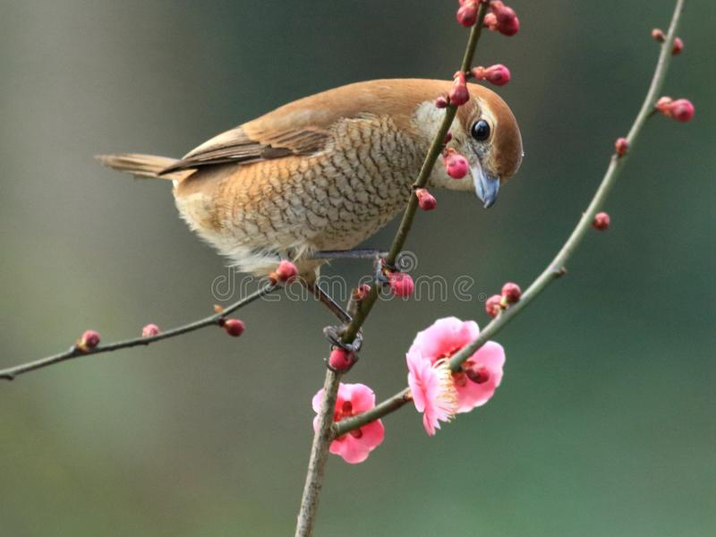 Spring flowers and birds, Bull-headed Shrike and cherry blossoms royalty free stock images