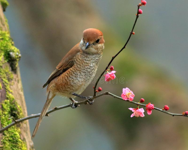 Spring flowers and birds, Bull-headed Shrike and cherry blossoms stock photos