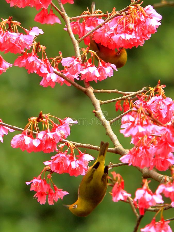 Spring flowers and birds, silver eyes bird with cherry blossoms stock photos
