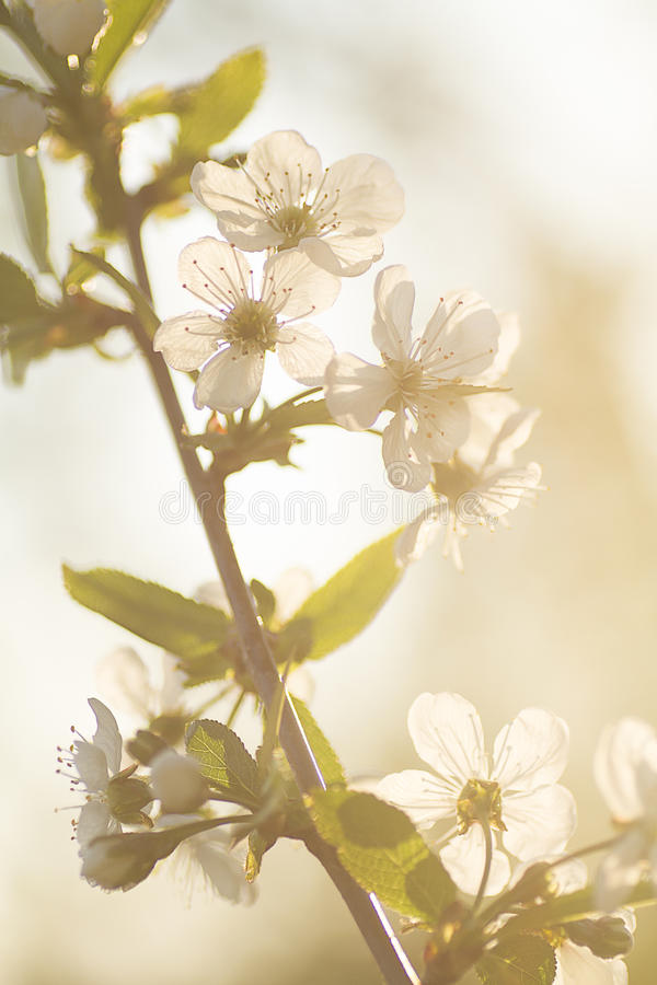 Spring, flowers, bloom, petals, fruit trees, nature,flare royalty free stock image