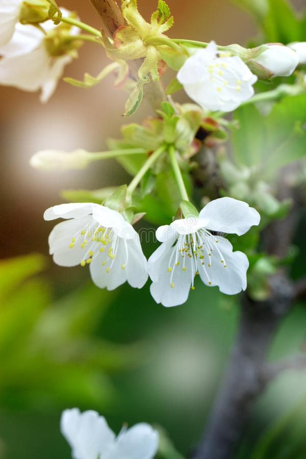 Spring flowers of blooming spring apple tree - natural spring flower background royalty free stock image
