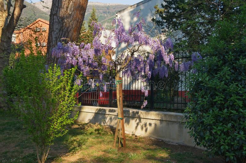 Spring flowers. Blooming wisteria in Mediterranean park. Montenegro, Tivat city. View of Large Town Park stock photography