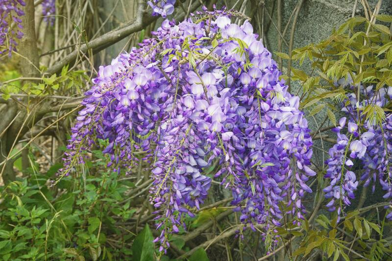 Spring flowers. Blooming wisteria vine in garden stock photos