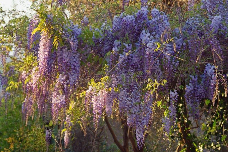 Spring flowers. Blooming wisteria vine in Mediterranean garden royalty free stock image