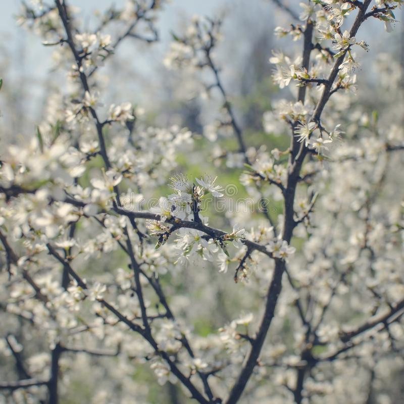 Spring flowers, Blossom tree over nature background. Close up royalty free stock photography