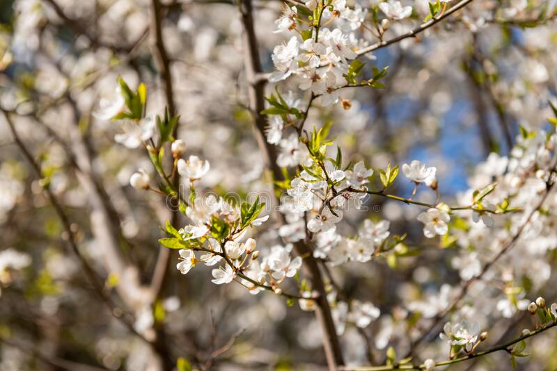 Spring flowers. Blossoming tree branch. Spring flowers. Beautifully blossoming tree branch stock photography