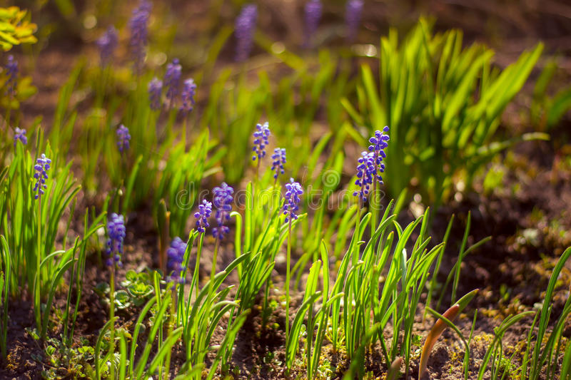 Spring flowers. Blue muscari in the sunset light. royalty free stock images