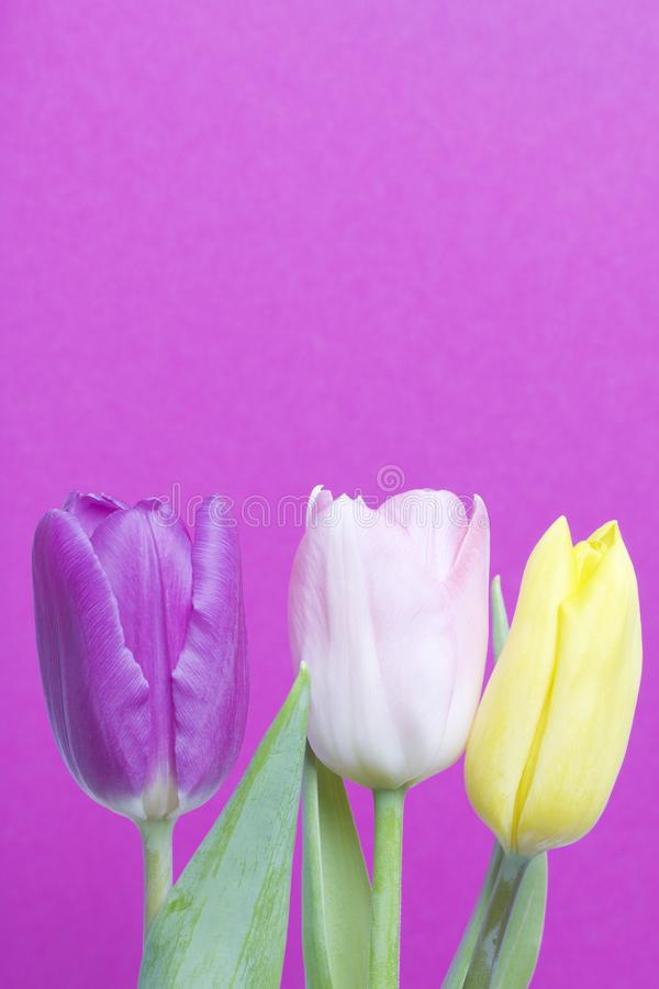 Spring flowers. A bouquet of tulips of different colors on a pink background royalty free stock photography