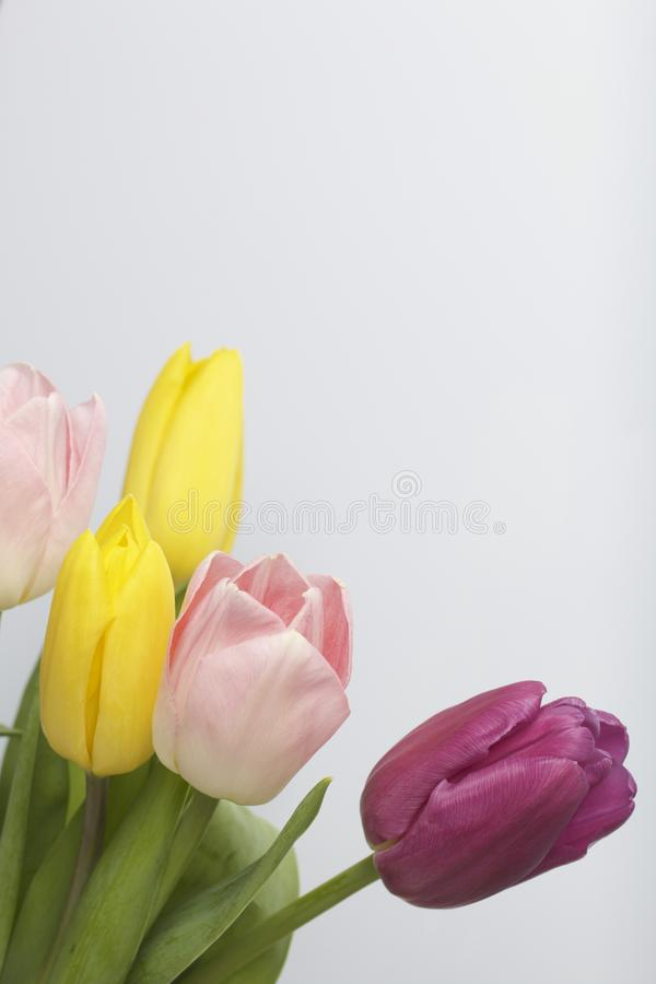 Spring flowers. A bouquet of tulips of different colors on a white background royalty free stock images