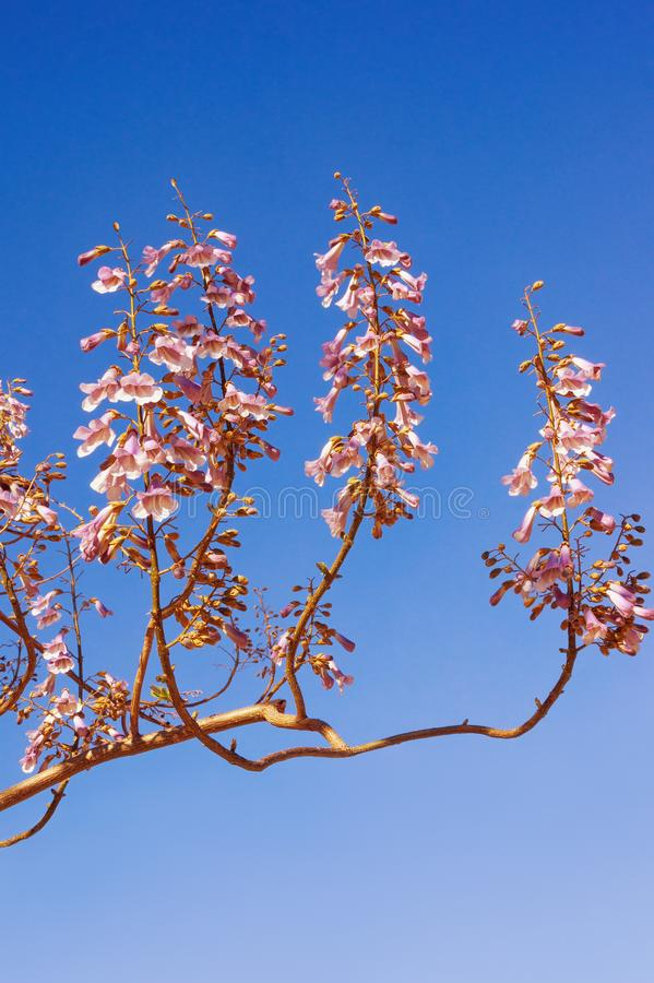 Branch of a Paulownia tomentosa tree against  blue sky on sunny day stock photography