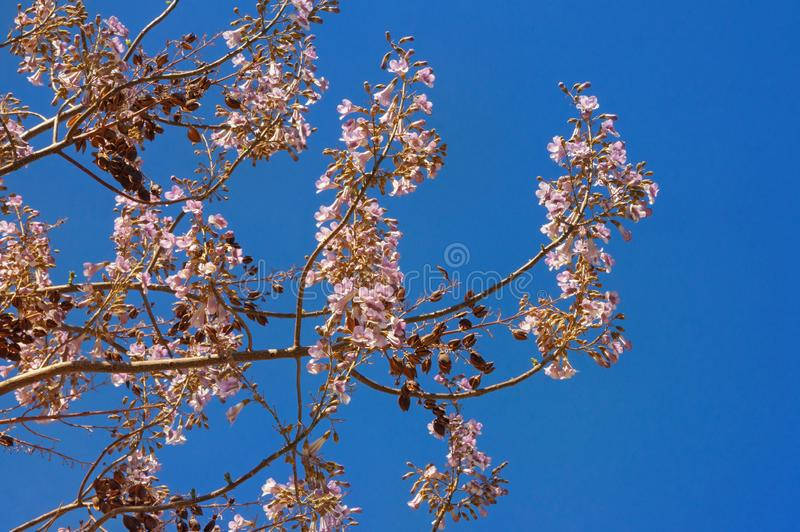 Spring flowers. Branches of Empress tree with flowers and seeds against blue sky royalty free stock photo