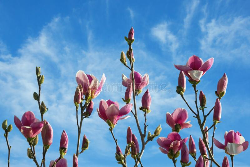 Spring flowers. Branches of flowering tree of magnolia against blue sky royalty free stock photos