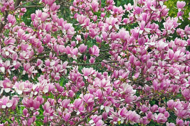 Branches of magnolia tree Magnolia soulangeana in garden , background. Spring flowers. Branches of magnolia tree  Magnolia soulangeana  in garden , background royalty free stock images