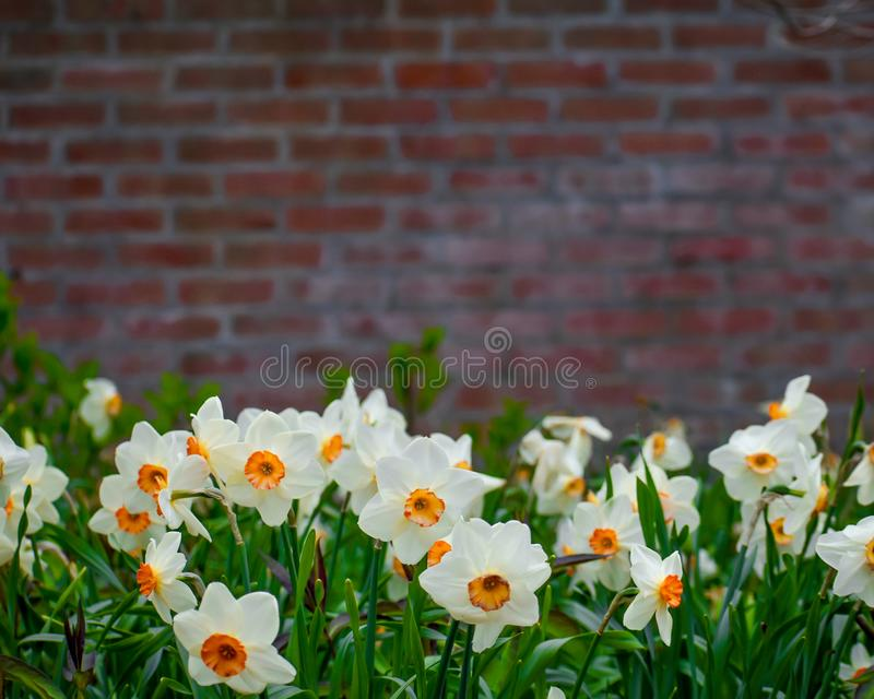 Spring Flowers Brick Wall Background stock photography