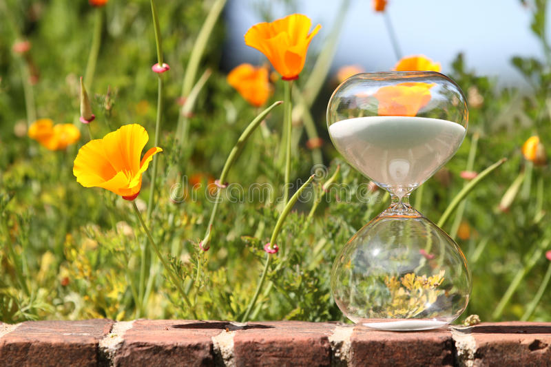 Spring flowers (California Puppies) with modern hourglass. Flowers blooming as time goes by. Spring countdown royalty free stock image
