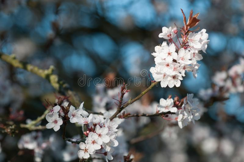 Spring flowers cherry blossom abstract for springtime. Cherry blossom in spring abstract for springtime royalty free stock image