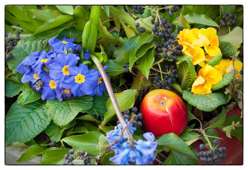 Spring flowers composition with primula flowers and an apple royalty free stock photo
