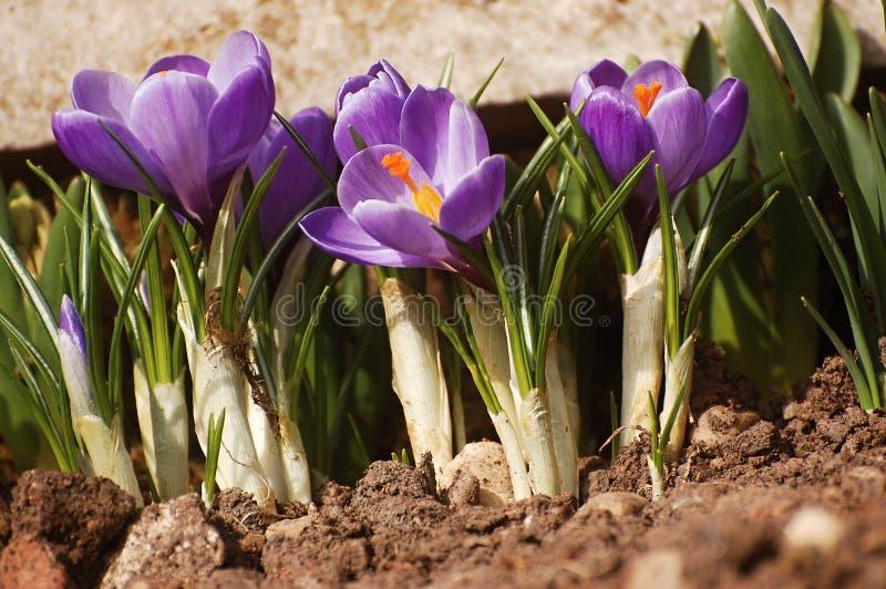 Spring flowers - crocus stock photo