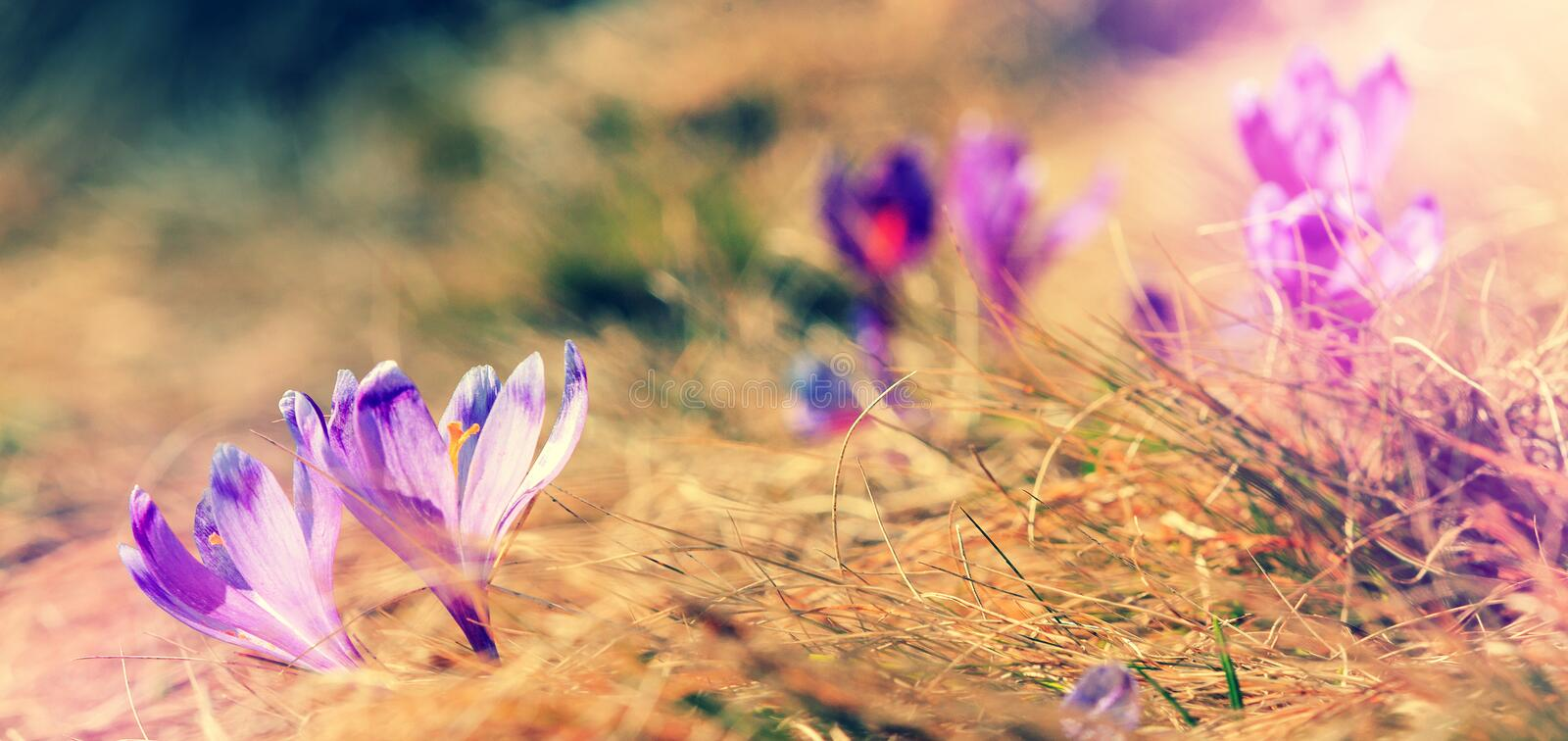 Spring Flowers Crocus close up. Spring sunny View, Small depth of fields stock photography