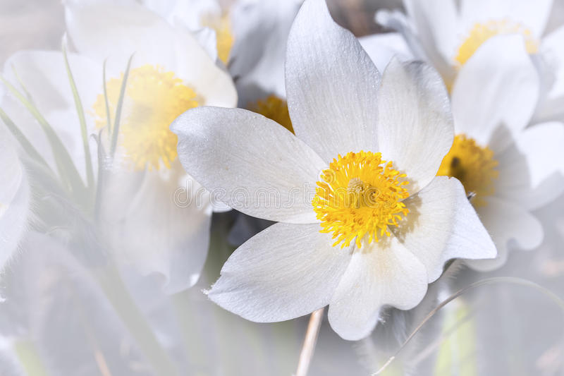 Download Spring Flowers Cutleaf Anemone Stock Photo - Image: 39752284