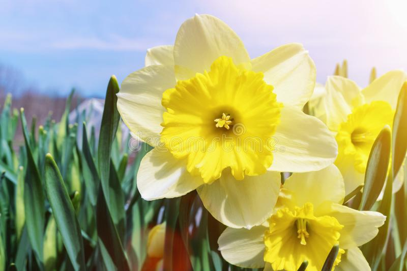 Spring flowers daffodils on a bright Sunny day.  stock photo