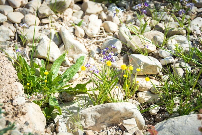 Spring flowers in the desert royalty free stock images