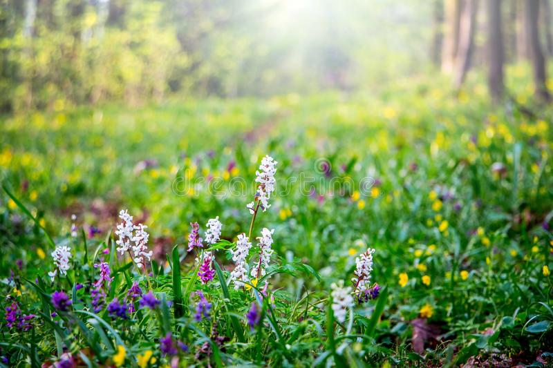 Spring flowers in the forest on the lawn. The sun`s rays penetrate in the forest through the trees_. Spring flowers in the forest on the lawn. The sun`s rays royalty free stock photos