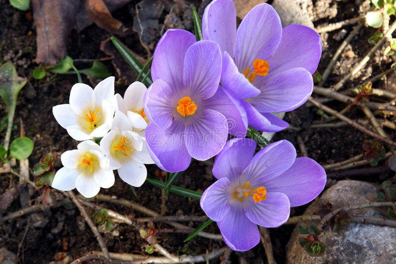 Spring flowers in a garden. royalty free stock images