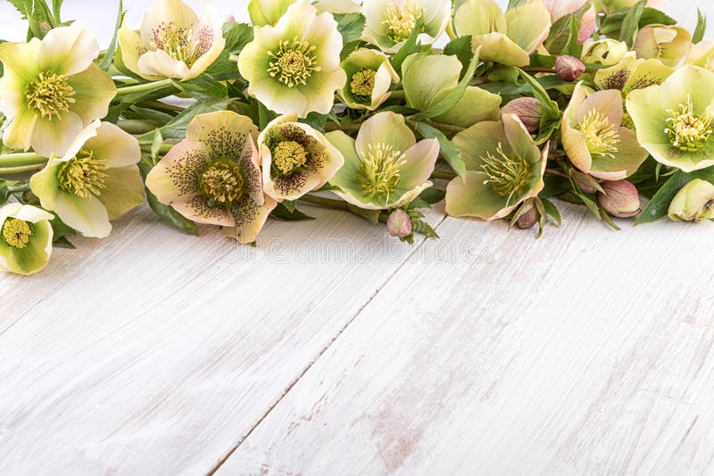 Spring flowers of Hellebore on light wood (Helleborus orientalis) text space stock photos