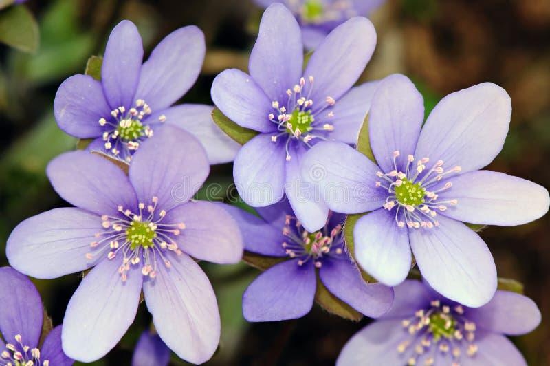 Spring flowers - Hepatica (Hepatica nobilis) royalty free stock images