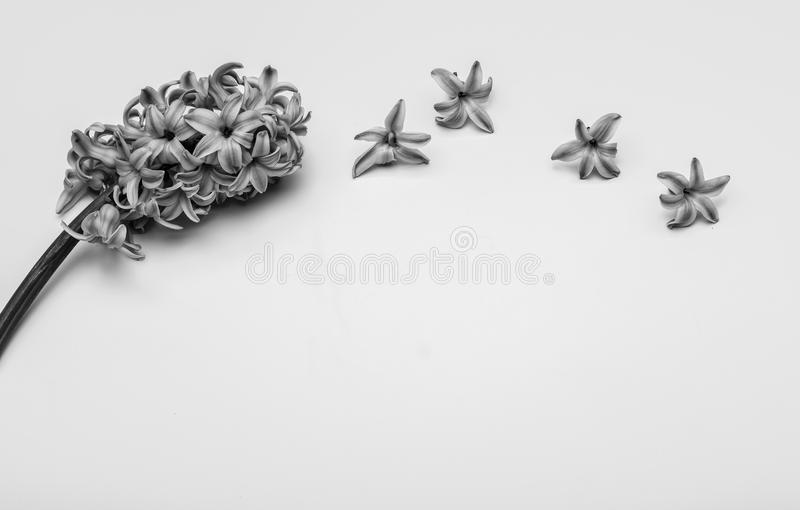 Spring flowers - hiacinth black and white royalty free stock photos