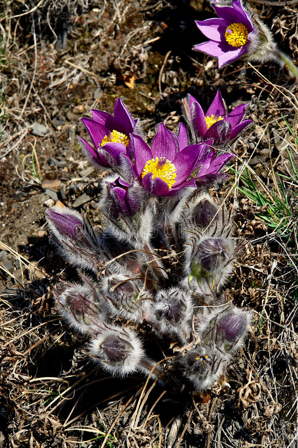 Free Spring Flowers In The Tundra. Pulsatilla Vulgaris Royalty Free Stock Images - 49909929