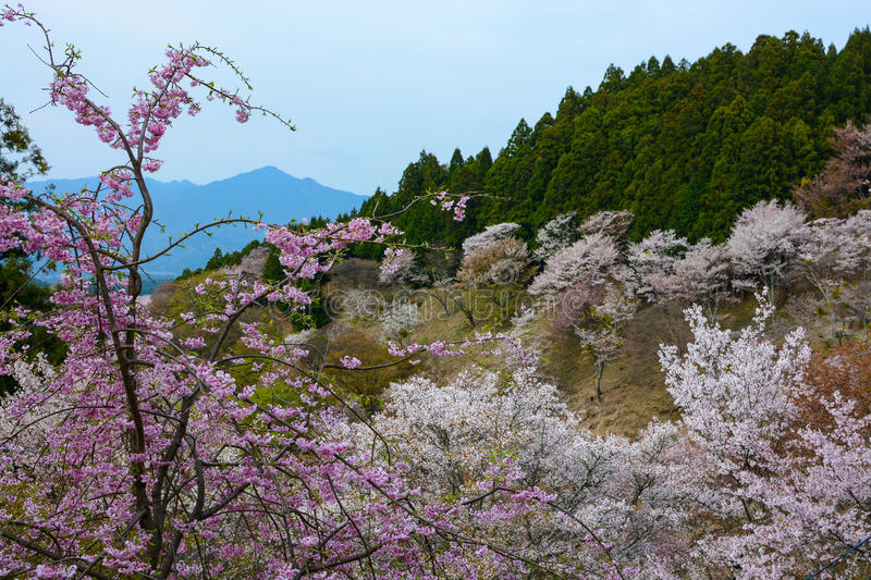 Spring flowers landscape at Yoshino Mountain in Japan with a pink weeping cherry in the foreground stock photo