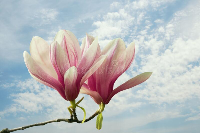 Spring. Flowers of magnolia  Magnolia soulangeana  against blue sky with white clouds. Pastel colors stock photography
