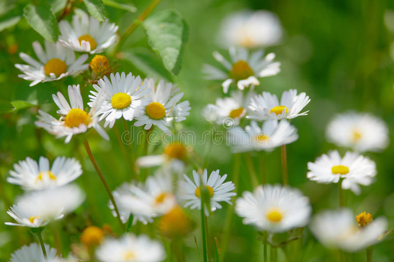 Spring flowers marguerite blossoms. Spring flowers of the field marguerite blossoms in green grass royalty free stock photos
