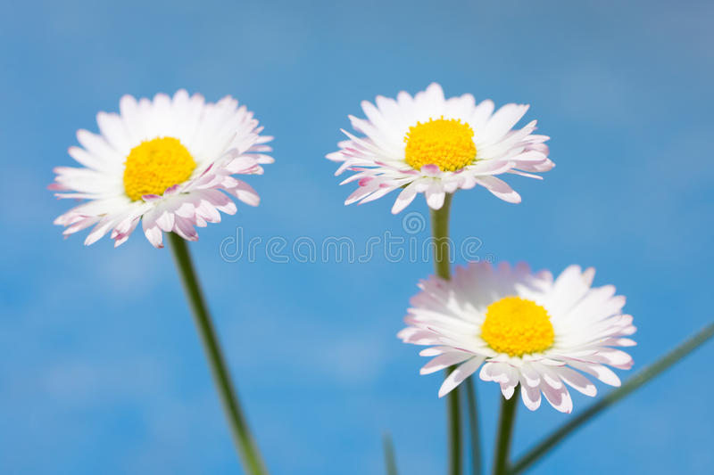 Spring flowers, marguerites and blue sky. Spring flowers, marguerites on blue sky background stock photo
