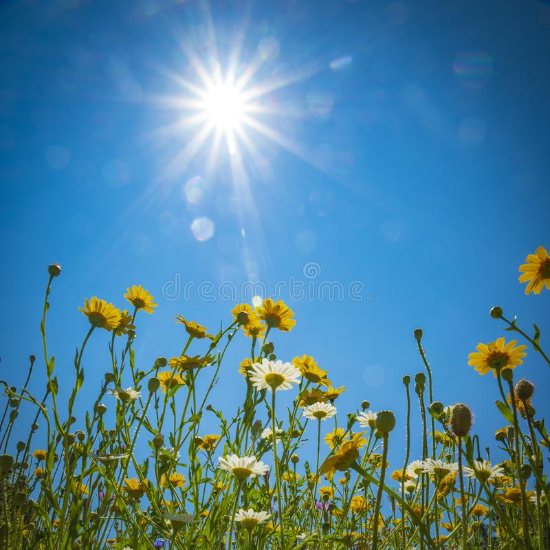 Spring flowers in a meadow under blue skies and bright sunshine. Daisies and Dandelions in a meadow under blue skies and bright sunshine stock images