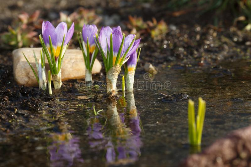 Spring flowers after melting snow. Blooming crocus buds are reflected in the water during springtime warming royalty free stock image