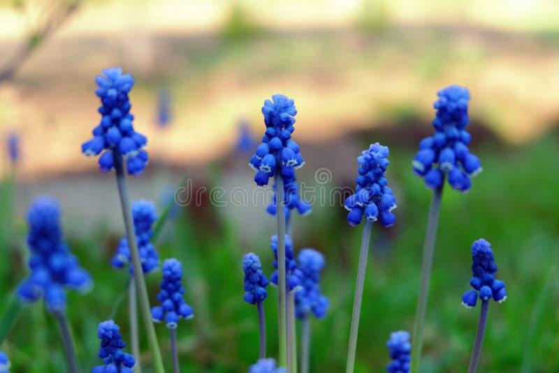 Spring flowers Muscari - blue Grape hyacinth. Armeniacum plant with blue flowers stock photo